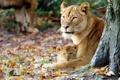 Картинка осень, львица, львёнок, материнство