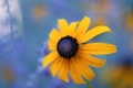 Картинка цветок, макро, Black Eyed Susan