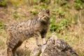 Картинка камень, дикий кот, лесной кот, кошка