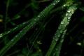 Картинка зелень, трава, роса