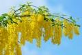 Картинка природа, жёлтый, цвет, ветка, акация