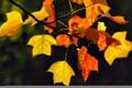 Картинка осень, листья, ветка