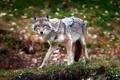 Картинка природа, фон, лес, Coyote