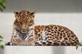 Картинка кошка, леопард, амурский