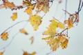 Картинка осень, макро, ветки, листва, дубовая