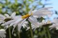 Картинка лето, цветы, ромашки, лепестки, ромашка, лепесток