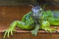 Картинка ящерица, игуана, зелёная
