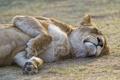 Картинка сон, отдых, ©Tambako The Jaguar, львица, кошка