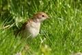 Картинка трава, птица, соловей