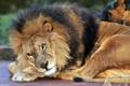 Картинка отдых, лев, взгляд, кошка