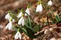 Картинка крокусы, белые, Spring flowers, Crocus vernus