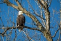 Картинка ветки, птица, хищник, белоголовый орлан