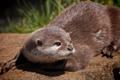 Картинка Выдра, мордочка, Otter, взгляд