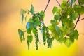 Картинка макро, ветка, тополь, листва, плоды