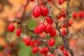 Картинка осень, ягоды, шипы, красные