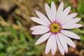 Картинка цветок, розовый, лепестки