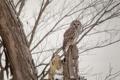 Картинка ветки, дерево, сова, Пёстрая неясыть
