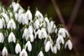 Картинка макро, цветы, весна, подснежники, белые, первоцвет