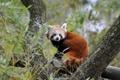 Картинка дерево, красная панда, firefox, малая панда