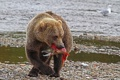 Картинка природа, рыба, медведь