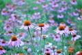 Картинка поле, природа, лепестки, луг, эхинацея