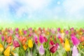 Картинка блики, весна, тюльпаны