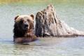Картинка вода, пень, медведь, купание