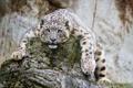 Картинка камни, дикая кошка, скалы, ирбис, зоопарк, снежный леопард, морда