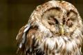 Картинка сова, птица, оперение, закрытые глаза, пестрая