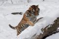 Картинка кошка, снег, тигр, семья, пара, детёныш, котёнок