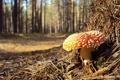Картинка лес, макро, гриб