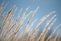 Картинка небо, трава, природа, колоски