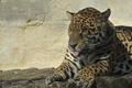 Картинка язык, кошка, ягуар