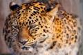 Картинка леопард, киса, leopard