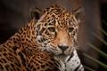 Картинка морда, хищник, ягуар