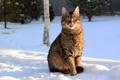 Картинка зима, язык, кот, снег