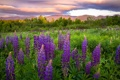 Картинка цветы, луг, люпины, New Hampshire, Sugar Hill, Франкония, Franconia