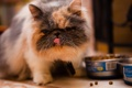 Картинка кошка, еда, пол