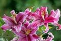 Картинка розовая, лилии, ветка, лепестки, тычинки, цветение, цветки