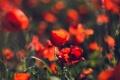 Картинка цветы, маки, красные, много