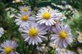 Картинка цветы, ромашки, полевые