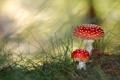 Картинка лес, гриб, мухомор