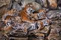 Картинка камни, арт, тигрица, тигрята, Alan M Hunt
