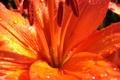 Картинка цветок, лето, капли, воды, ярко, крупным планом