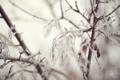 Картинка ветки, зима, снег, иний, листва, Quiet