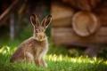 Картинка природа, фон, заяц