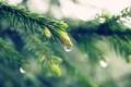 Картинка капля, елка, хвоя, Hypnotic Droplet