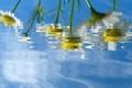 Картинка белый, вода, цветы, желтый, зеленый, отражение, фон