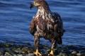 Картинка вода, камни, птица, хищник, Белоголовый орлан