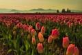 Картинка тюльпаны, поле, утро, туман